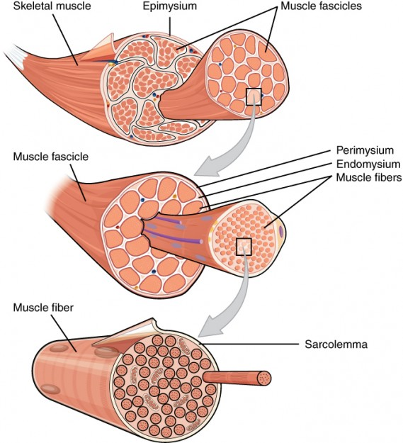 The Three Connective Tissue Layers