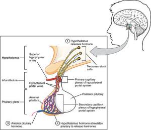 anterior pituitary complex