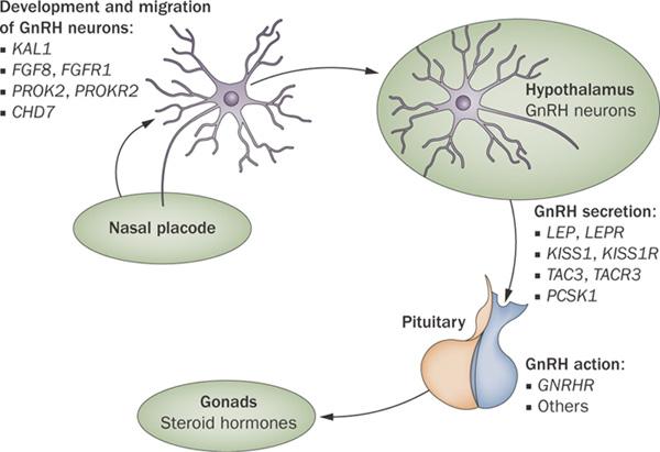 The-genetic-and-molecular-basis-of-idiopathic-hypogonadotropic-hypogonadism