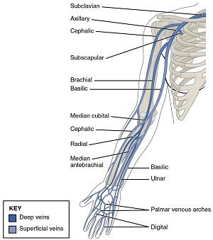 Thoracic-Upper-Limb-Veins