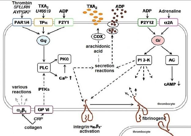 Thrombozytenaggregationenglish