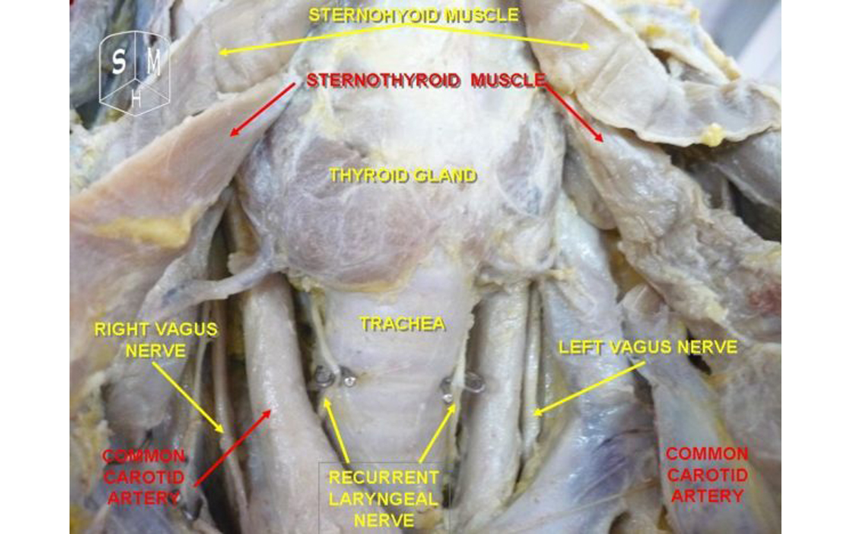 anatomy of thyroid gland pdf