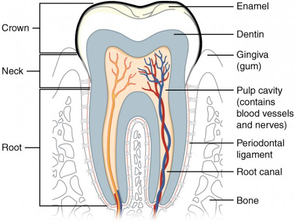 Tooth (Labeled Diagram with Enamel Dentin Gingiva Pulp Cavity Root Bone and more)