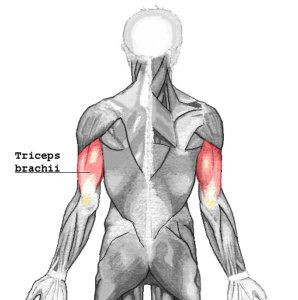 diagram showing the triceps brachii muscles from the posterior aspect