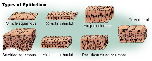 Types of Epithelium Diagram