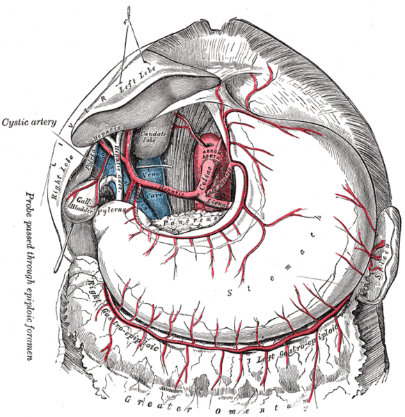 Vascular supply of the stomach