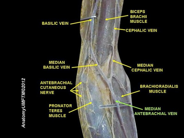 veins of the arm cutaneous innervation and venous drainage