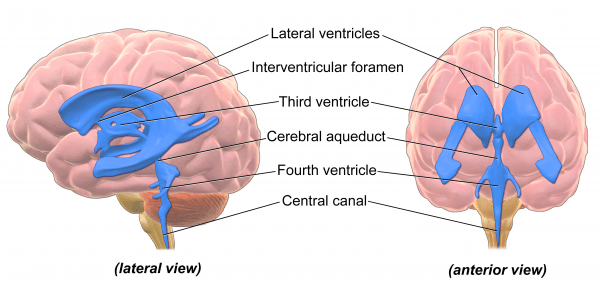 Ventricles Brain Blausen