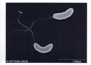 Vibrio cholerae