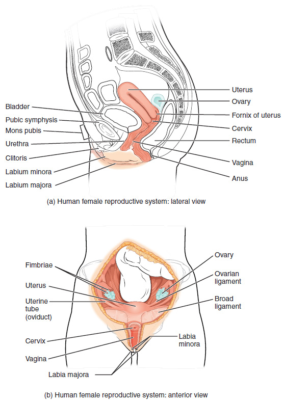 Human female reproductive system: lateral and anterior view