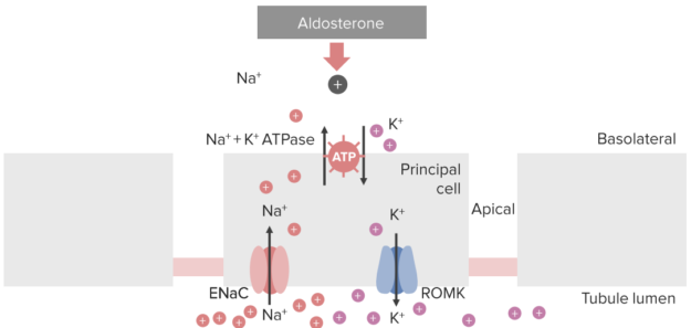 aldosterone-action