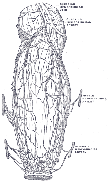 blood vessels of rectum and anus