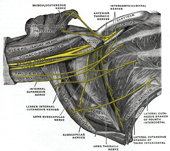 brachial plexus in the axillary fossa