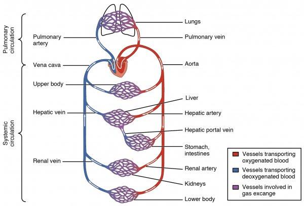 cardiovascular circulation