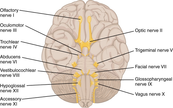 labeled diagram of cranial nerves