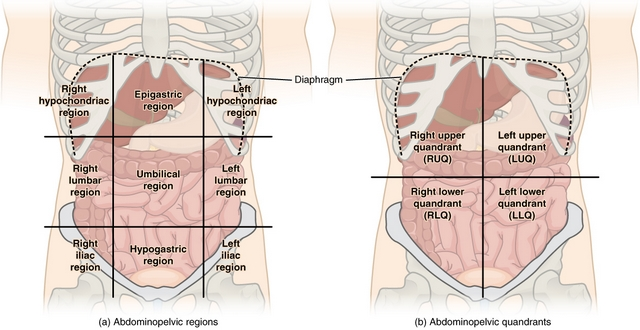Regions and Quadrants of the Peritoneal Cavity