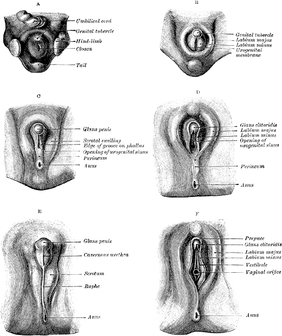 Different stages of development of the external genitalia of men and women