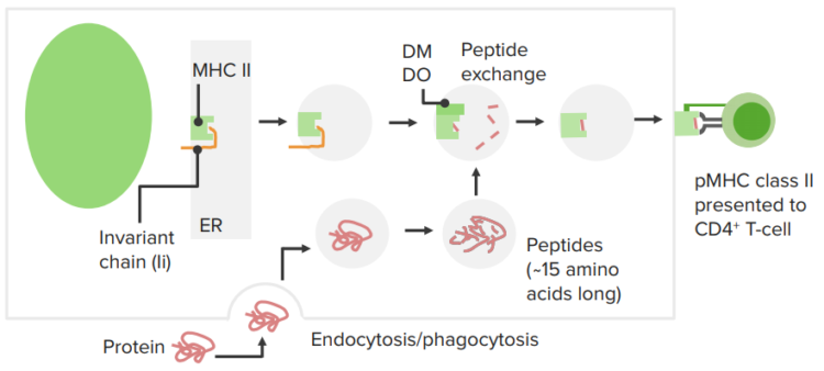 exogenous-antigen-processing-presentation