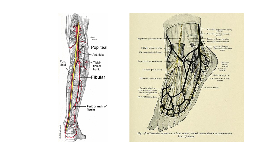 Arterial Supply of the Lower Limb | Medical Online Library