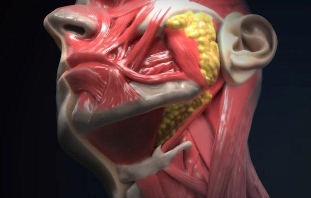 Anatomy head and neck