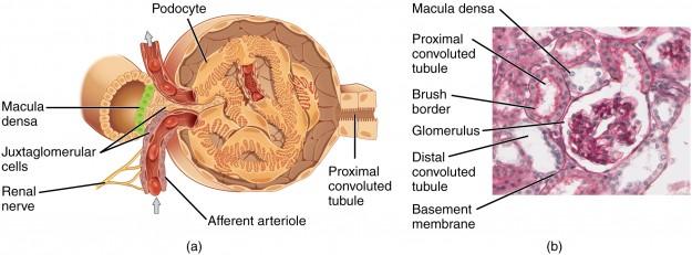 Juxtaglomerular Apparatus and Glomerulus
