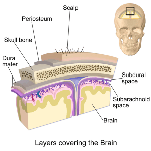 layers covering the brain