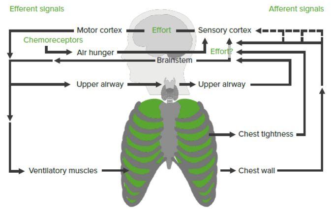 layout presenting the pathophysiology of dyspnea