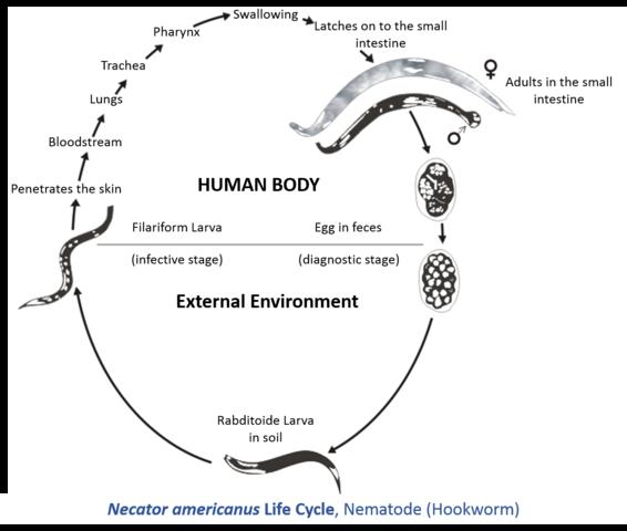 Necator americanus Life Cycle