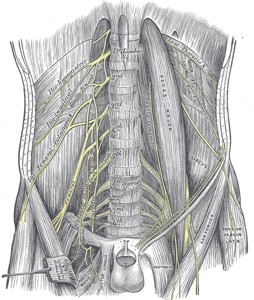 """""""The lumbar plexus and its branches"""" by Henry Gray. License: Public Domain"""