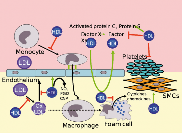 metabolism of hdl