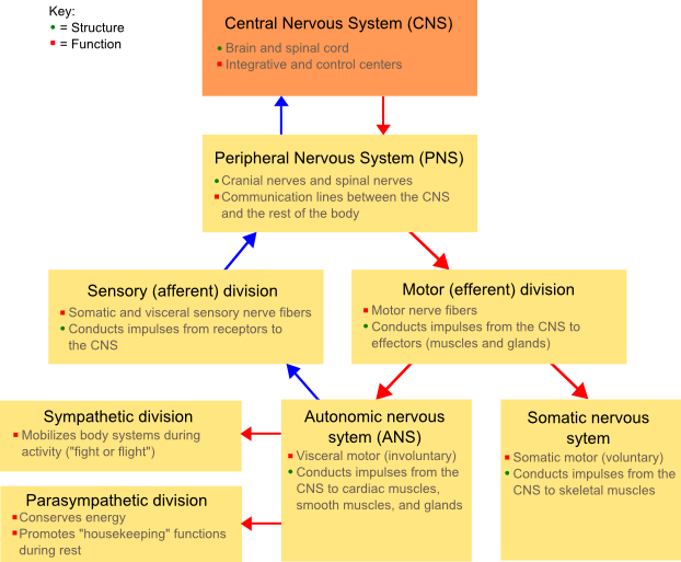 Diagram showing the divisions of the nervous system