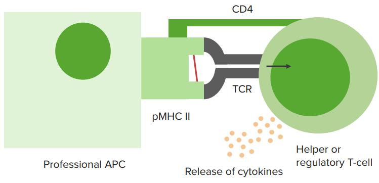 mhc-class-2-t-cells
