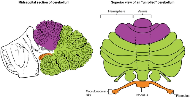 most important regions cerebellums