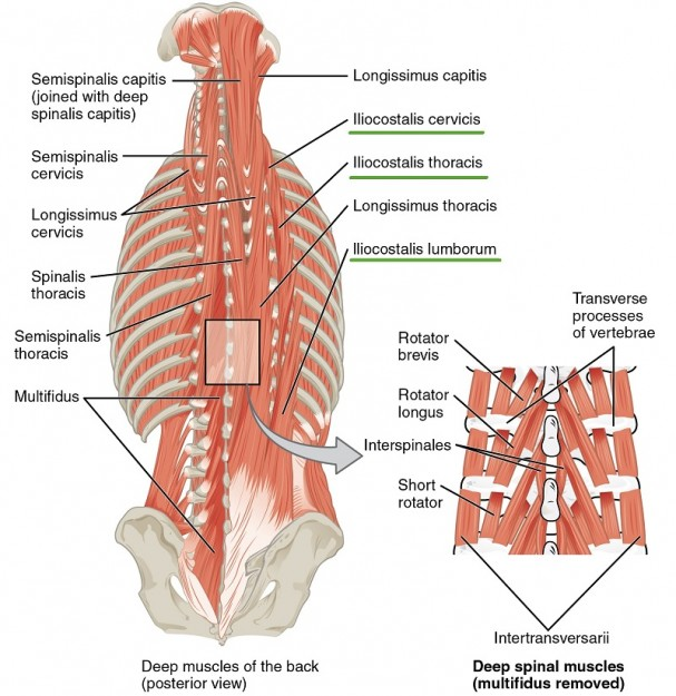muscles-of-neck-and-back-Iliocostalis-group