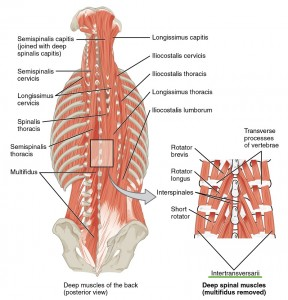 muscles-of-neck-and-back-Intertransversal-group