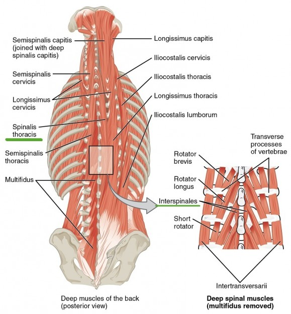 muscles-of-neck-and-back-spinal-and-interspinal-gruppe