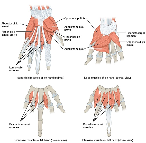 labeled diagram of the muscles of the hand