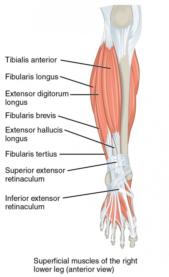 part of Muscles of the Lower leg