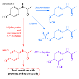 pathways of paracetamol metabolism
