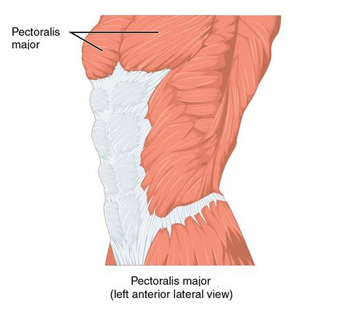 pectoralis major left anterior lateral view