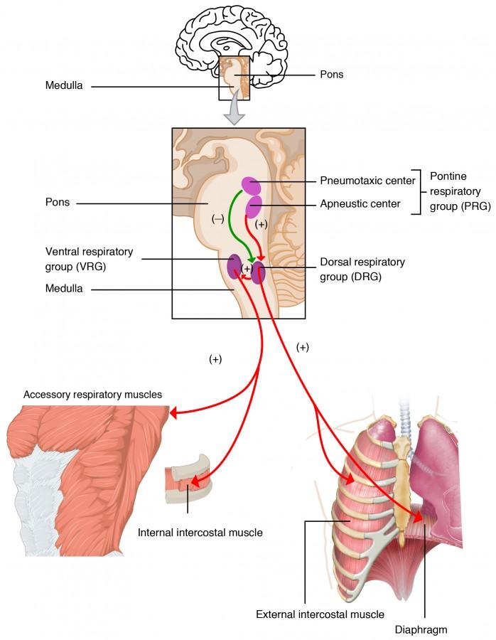 regulation respiration brain