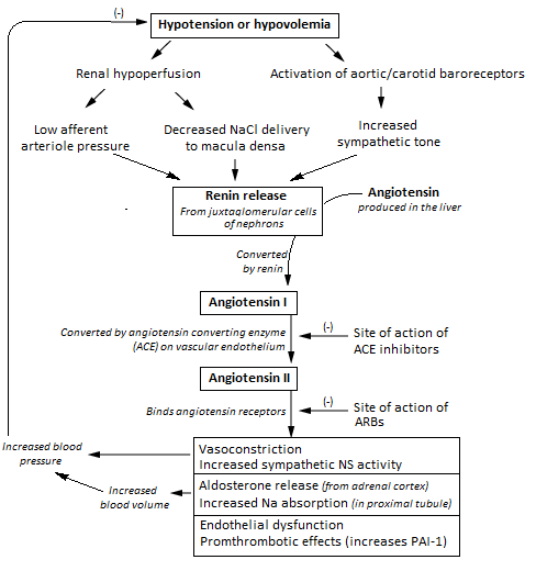 renin angiotensin aldosterone system and its clinical effects
