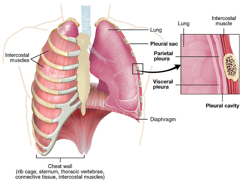 schematic picture of the lung pleura