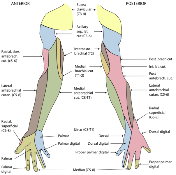 sensory innervation of the upper limbs