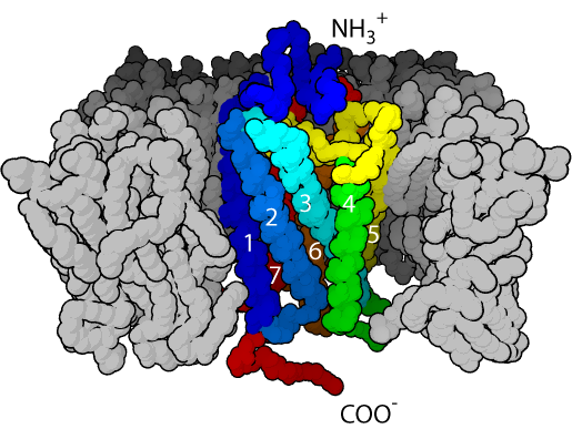 seven-transmembrane α-helix structure of a G-protein-coupled receptor