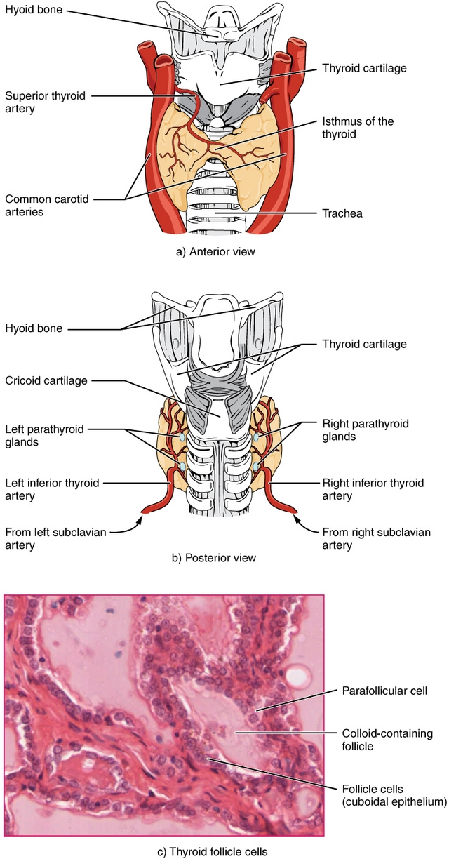 structure ofThyroid Gland and its micrograph