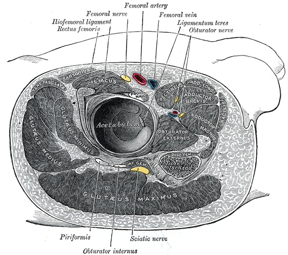 """""""Structures surrounding right hip joint"""" by Henry Gray. License: Public Domain"""