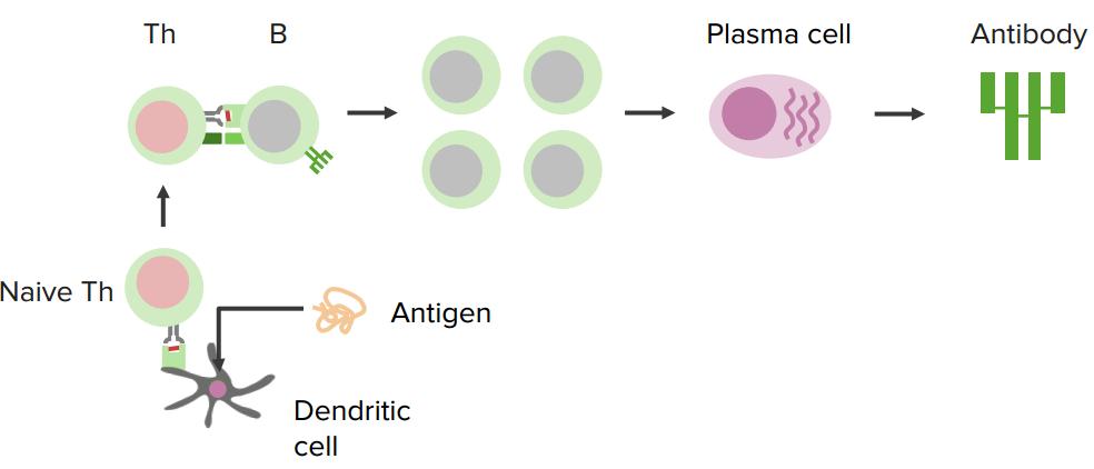 t-dependent-antigen