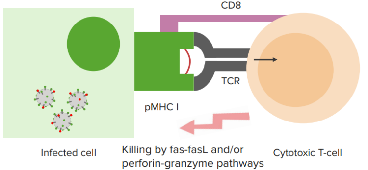 tcr-recognition-of-peptide-mhc
